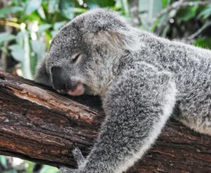 koala bear getting the best sleep, resting on a tree in comfort